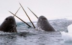 Image for AT CAPACITY - Narwhal: A Tusk with a Twist